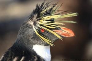 はぐれキタイワトビペンギン