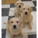 Yellow puppies