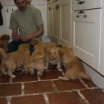 Toller pups playing