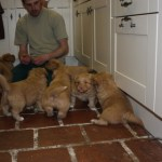 Toller pups playing