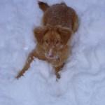 Lexi the toller enjoying the snow.