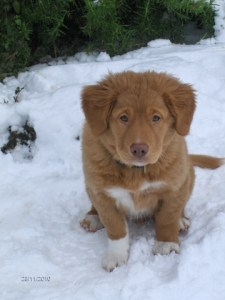 Chunky nova scotia duck tolling retriever puppy, Fingal.