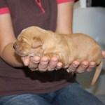Goldie pup