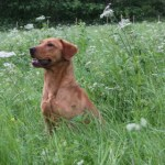 Chip - Up and coming Fox Red Labrdor stud dog.