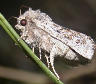 Falmouth Packet: The Cornish Rustic Sandhill moth