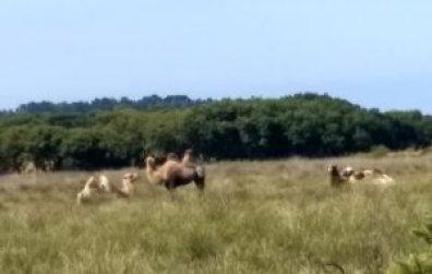 Cornish camels