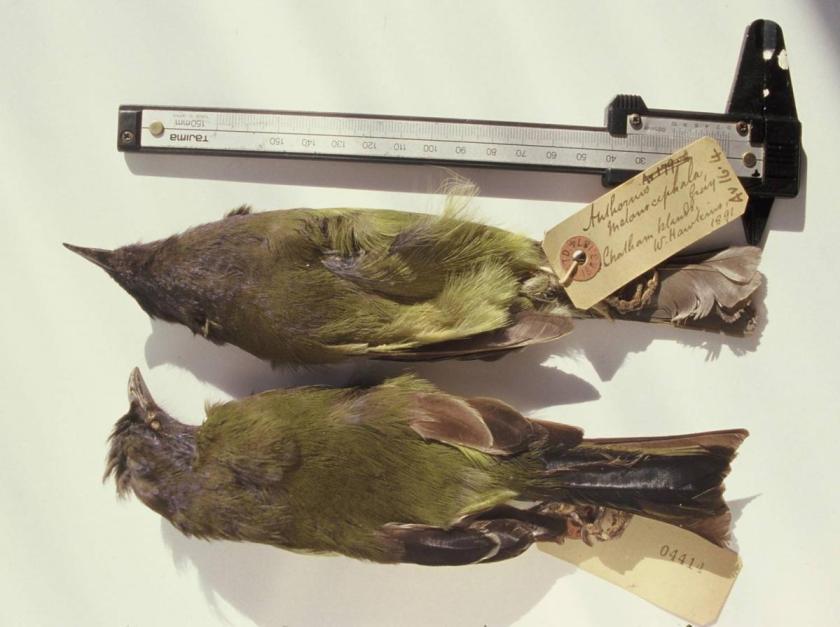 Chatham Bellbird