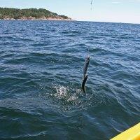 Drei Makrelen auf einen Streich