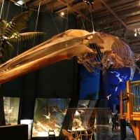 Das Skelett eines Blauwals im Te Papa Museum