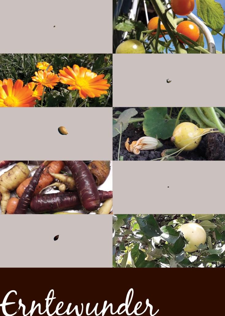 Erntedank - Erntewunder - Tomate - Tomatensamen - Ringelblume - Ringelblumensamen - Kürbis - Kürbissamen - Mohrrüben - Mohrrübensamen - Apfel - Apfelbaum - Apfelkern