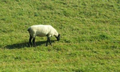 Schaf - nicht Shaun