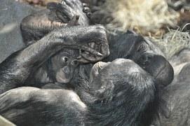 Bonobos. Enthaltsam. Ausnahmsweise.