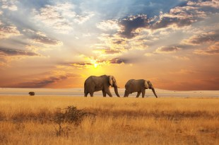 elephants-savane