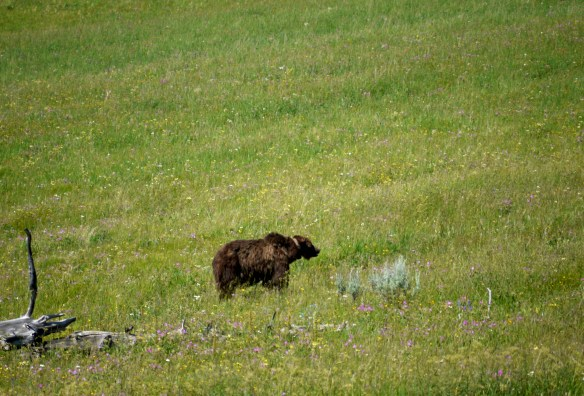 Grizzly, Yellowstone