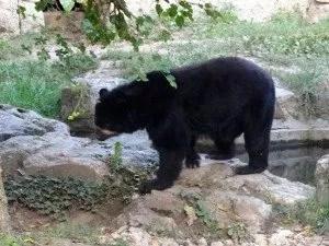 Ours au parc de la tete d'or