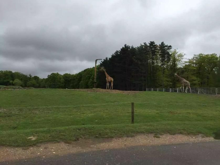 famille nomade digitale-Parc Zoologique de thoiry-girafes