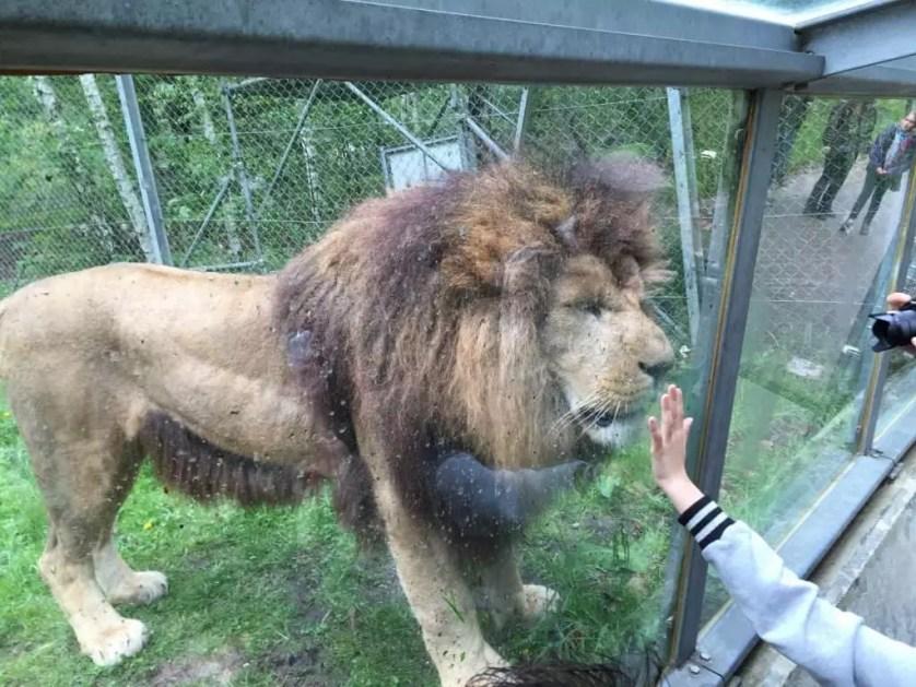 famille nomade digitale-Parc zoologique de Thoiry- lion derriere la vitr