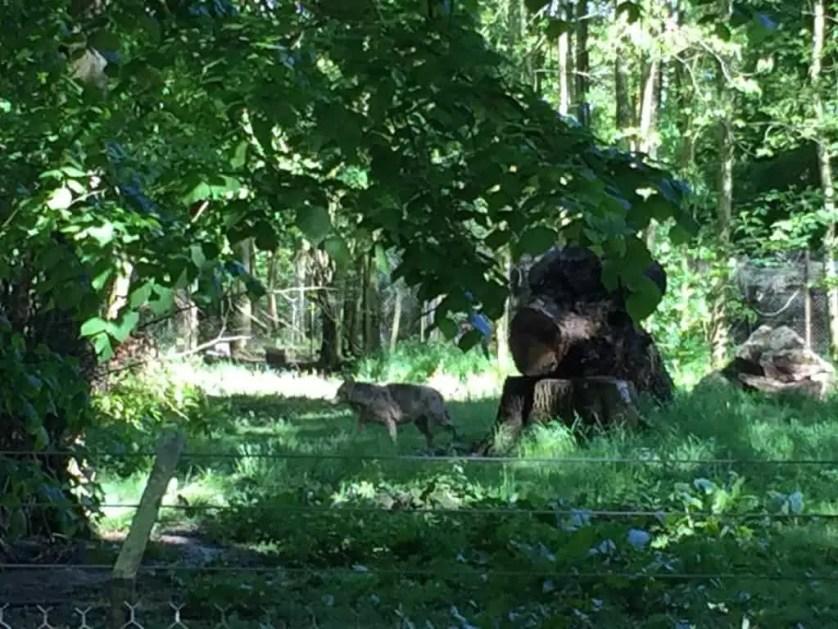 famille nomade digitale-Parc zoologique de Thoiry- loup dans les bois
