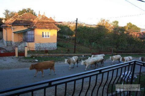 Blick vom Balkon unseres Pensionszimmers in Tureni bei Cluj-Napoca: Morgens gehen die Kühe zur Weide, abends gehen sie zurück. Normal (in Rumänien).