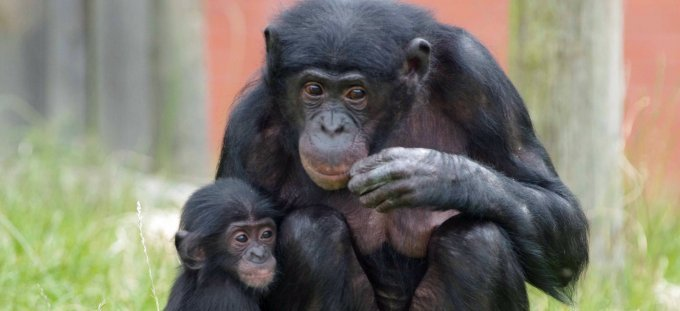 gillian-day-bonobo-mum-baby-ju