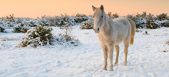 275_white_horse_snow_sunset