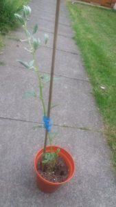 Jakes Magic Bean & an Apple Tree Family Clan Blog