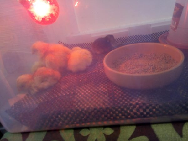 Graces chicks hatching new life Family Clan