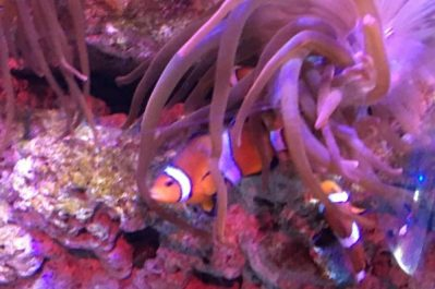 Blackpool Sea Life Centre Feb 2019 Family Clan Clown Fish Nemo