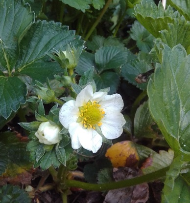 Strawberry Plant Flowering May 2019 Family Clan
