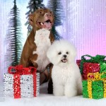Jake is a Pit Bull and Liberty is a Bichon Frise owned by Tasheena Housman.  Photo courtesy of Jerry & Lois Photography.