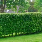 The Best Privacy Plants For Your Backyard Family Handyman