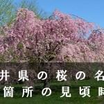 福井県の竹田水車など桜の名所45箇所の見頃時期
