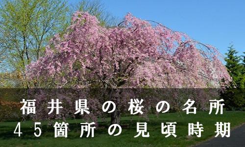 sakura-29-6824
