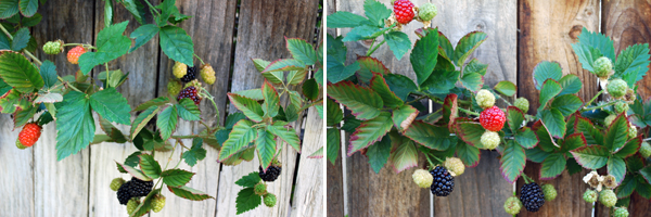 berries on the vine by FamilySpice.com