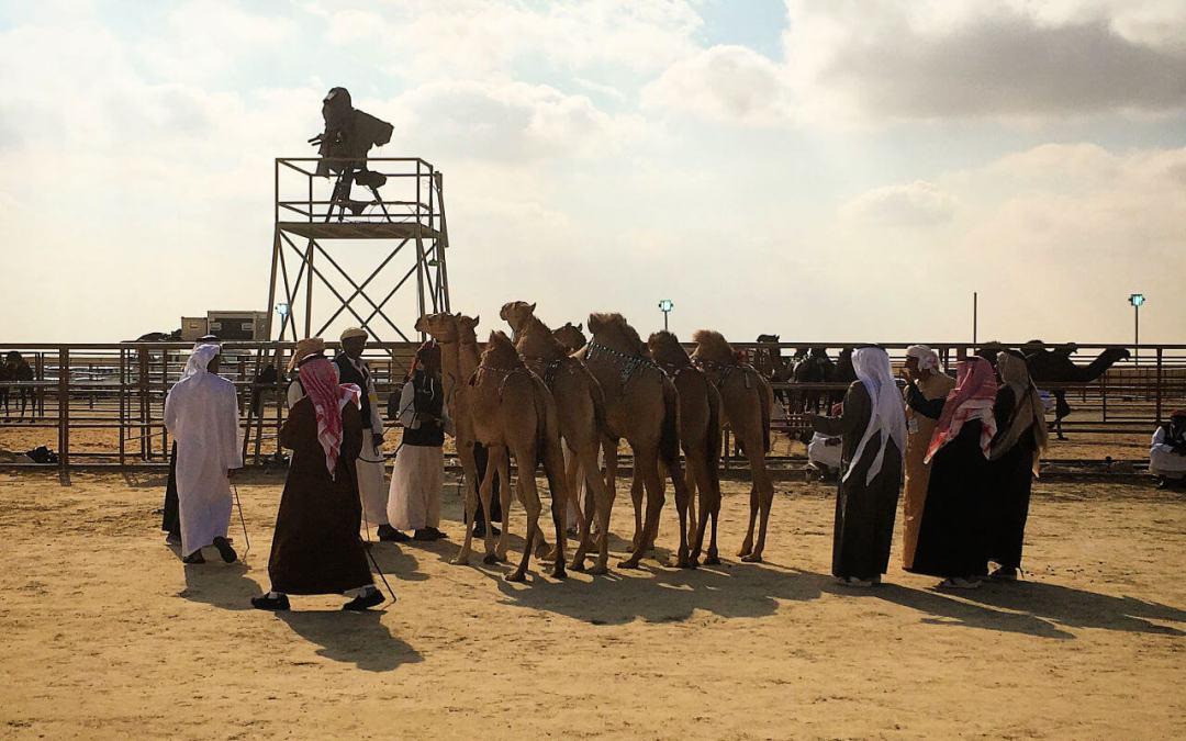 Judging in progress at the camel mazayna Al Dhafra Festival