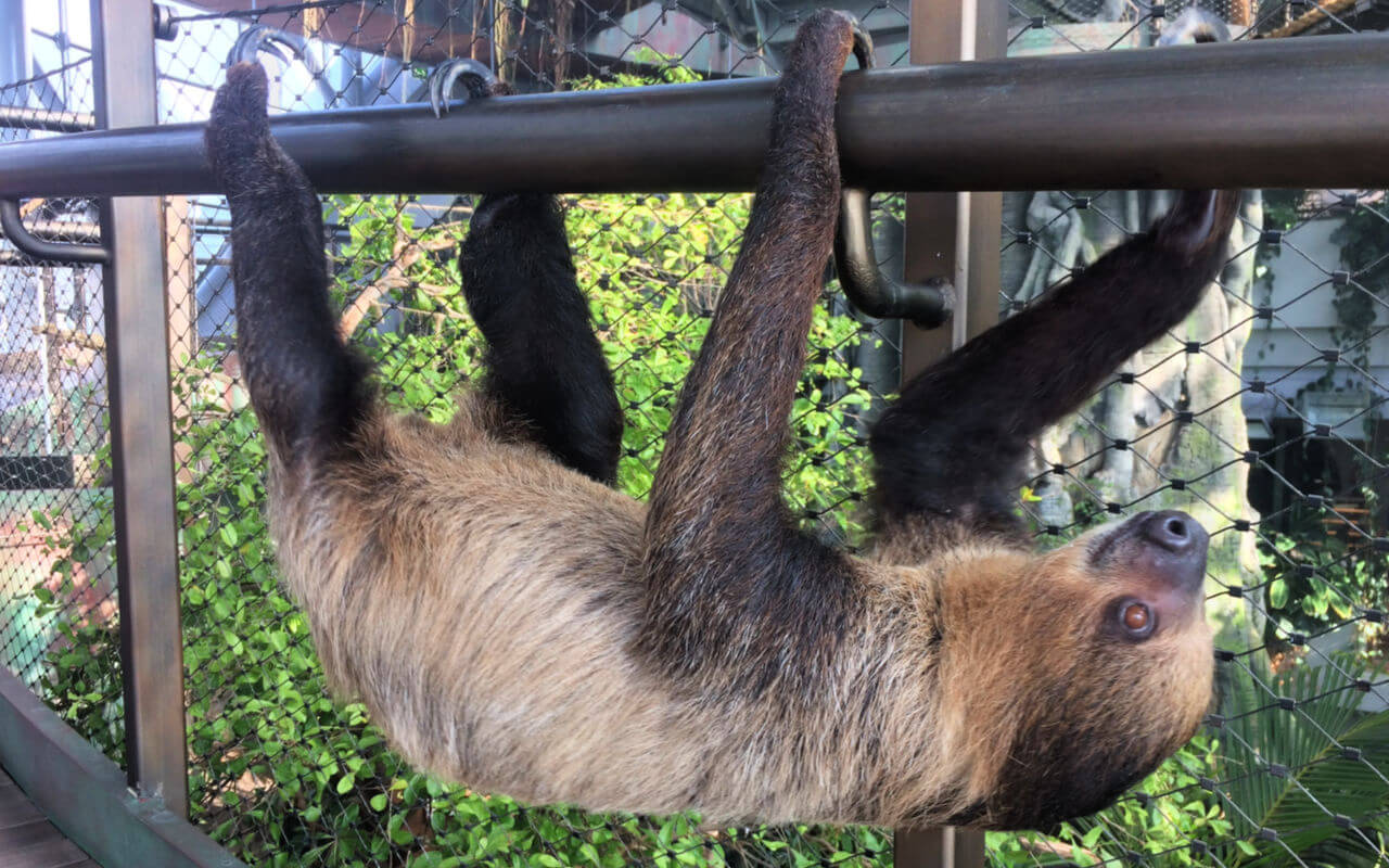 Resident Sloth at Green Planet Dubai