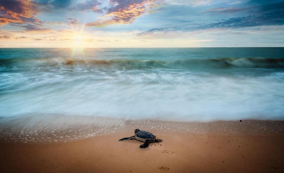 Turtle season a baby Hawksbill turtle Oman