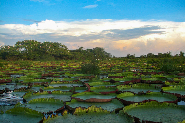 giant Victoria Amazonica water lily Guyana's; Courtesy of Karanambu