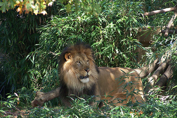 A lion at The National Zoo in Washington, D.C.