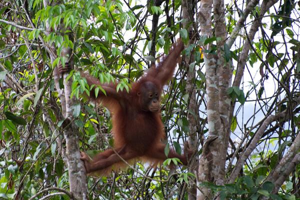 La giungla del Borneo orango