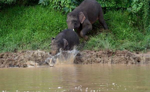 la giungla del Borneo elefanti nel fiume