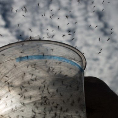Brazil releases billions of genetically modified Mosquitos to combat Zika