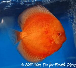 Discus albinos Aquarama 2009
