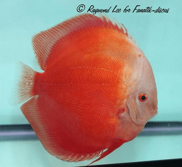 Discus white red Singapour 2010