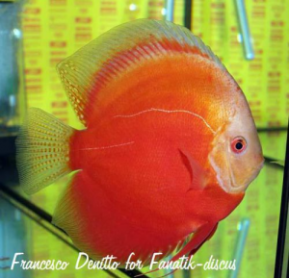 Discus white red