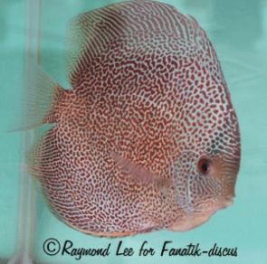Discus Red spotted snakeskin Singapour 2010