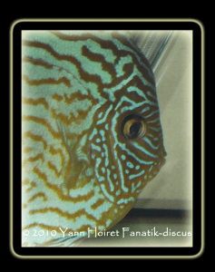 Discus turquoise duisbourg 2010  focus yeux