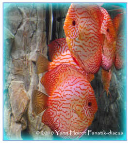 Discus Pigeon Blood  stand Discus Portale
