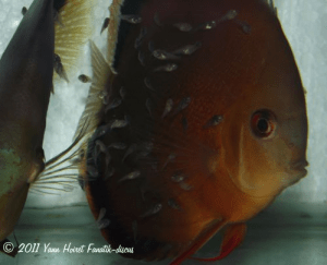 Femelle discus red cover avec ses alevins