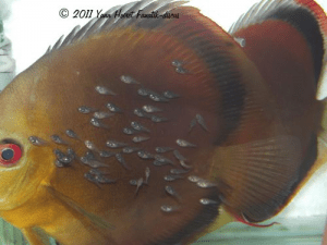 Alevins de discus red cover